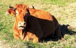mucca-coricata